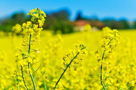 peasantry: eion yellow canola field in the spring in front of a farmhouse  background and text space