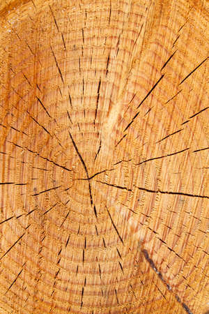 tree disc: many annual rings on a tree trunk  age of a tree in the forest  Stock Photo
