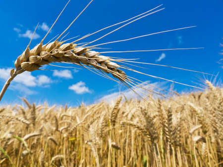 cornfield: ears of barley on a cereal box, a farmer in the summer