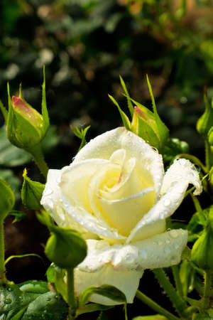 rosebush: a white rose blooming in the garden on a rosebush