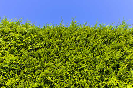 demarcation: a hedge of arborvitae before blue sky