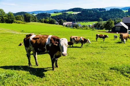reported: a happy cow while grazing in pasture  animal husbandry in agriculture