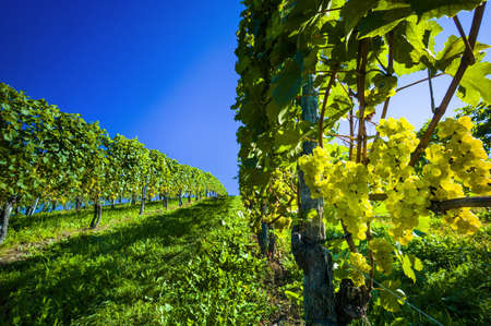 grape field: vintage in autumn, in the vineyard of a vintner  ripe grapes in the vineyard waiting for the harvest