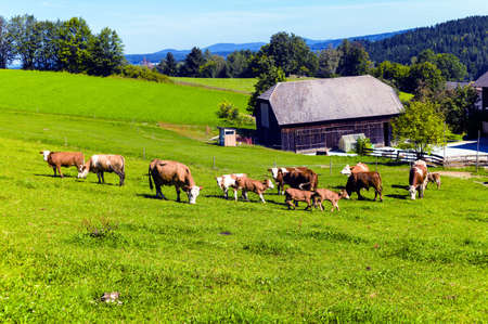 husbandry: many happy cows and their calves in a pasture a farmer  animal husbandry in agriculture