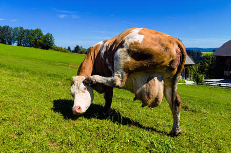 mount price: a cow stands on the summer pasture and has his head  milk price for milk and income in agriculture