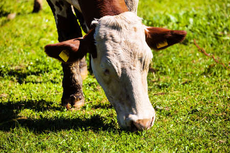 a happy cow while grazing in pasture  animal husbandry in agriculture photo