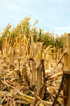 a corn field in the fall waiting for the crop  maize Stock Photo - 16164804