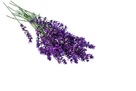therapie: lavender flowers isolated against white background  purple summer flowers
