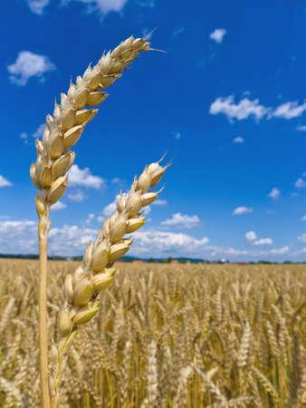 peasantry: ears of barley in the summer