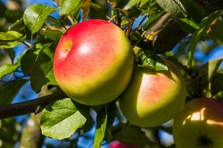 maturation: apples in the fall on an apple tree  fresh vitamins in the colorful season