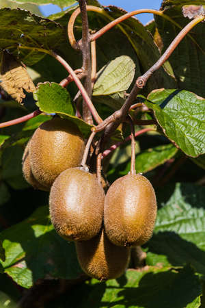 kiwi fruta: kiwi en una fruta tropical madura kiwibaum otoño Foto de archivo