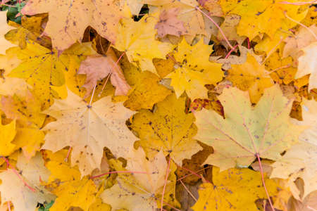 yellow autumn leaves have fallen from the trees  colorful season  Stock Photo - 16678926