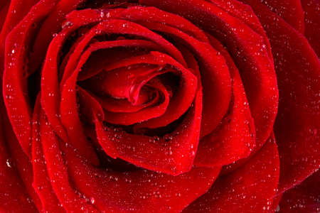 a red rose with drops of water on the flower  photo