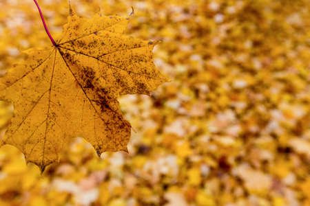 dissimilarity: yellow autumn leaves have fallen from the trees  colorful season  Stock Photo