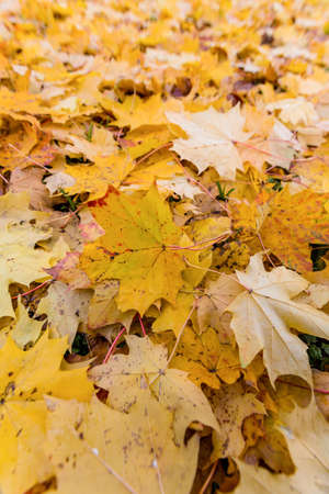 yellow autumn leaves have fallen from the trees  colorful season Stock Photo - 16678967