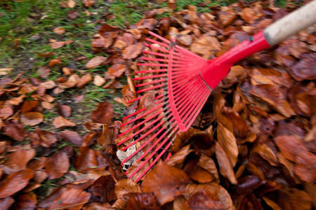 raking leaves  remove leaves  gardening in the fall Stock Photo - 18055141