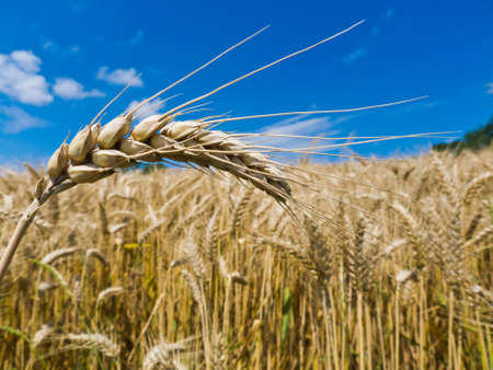 peasantry: ears of barley on a cereal box of a farmer in the summer  Stock Photo
