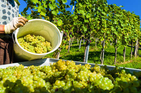 fruit harvest: vintage in a vineyard winemaker  vineyard in autumn  ripe grapes are harvested
