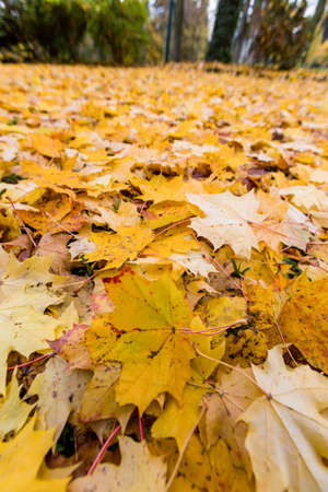 yellow autumn leaves have fallen from the trees  colorful season  Stock Photo - 19987680