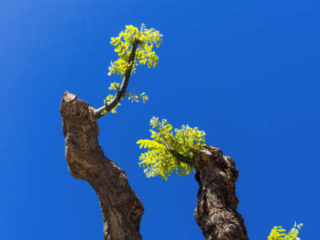 resistivity: young shoot of a pruned tree  against a blue sky