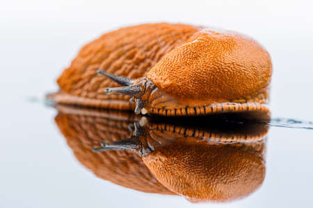 gastropoda: a slug crawling around  it is reflected in a glass plate