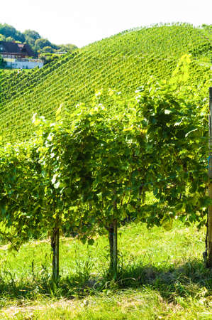 maturation: grapes in the vineyard