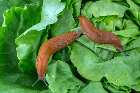 lesma: uma lesma no jardim comendo uma schneckenplage folha de alface no jardim