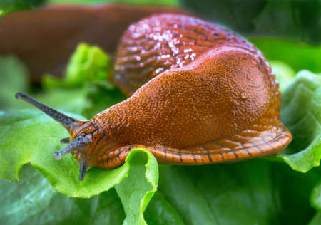 a slug in the garden eating a lettuce leaf  schneckenplage in the garden