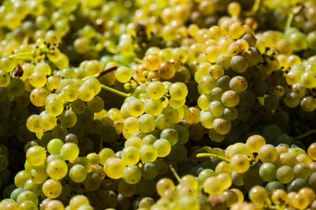 maturation: vintage in a vineyard winemaker. vineyard in autumn. ripe grapes are harvested.