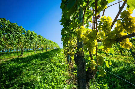 maturation: grapes in the vineyard of winemaker. vineyard in autumn. Stock Photo