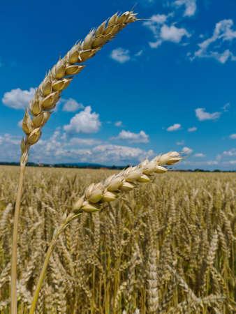 peasantry: ears of barley in a field of grain a farmer in summer.