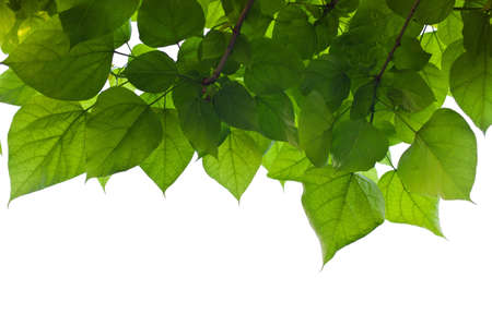 chlorophyll: leaves and sky, symbol photo for growth, photosynthesis, spring