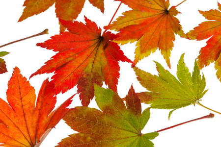 the colorful messenger of autumn. leaves on white background Stock Photo - 22800931