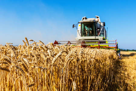 harvester: a cornfield with wheat at harvest. a combine harvester at work.