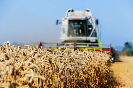 grain fields: a cornfield with wheat at harvest. a combine harvester at work.