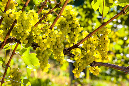 grapes in the vineyard of winemaker. vineyard in autumn. photo
