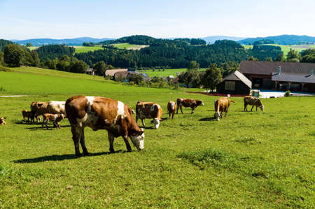 graze: dairy cows on the summer pasture