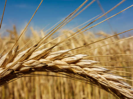 yield: a field of grain (wheat) just before harvest. corn fields in summer. Stock Photo