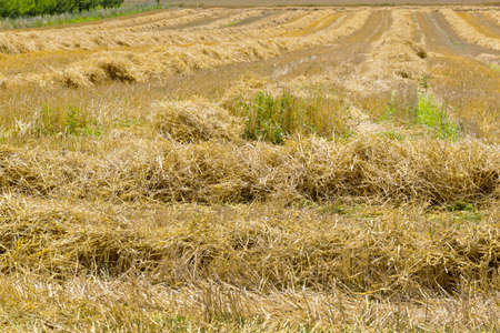 peasantry: a mowed cornfield of a farmer in the summer after the harvest.