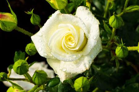 rose-bush: a white, blooming rose on a rosebush in the garden.