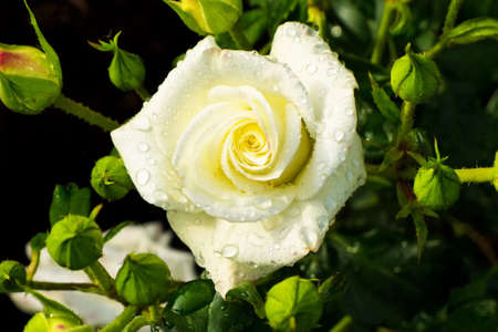rosebush: a white, blooming rose on a rosebush in the garden.