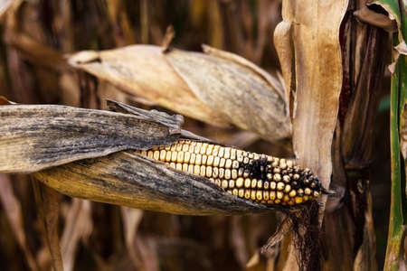 economic botany: a corn field in autumn waiting for the harvest (kukuruz). Stock Photo