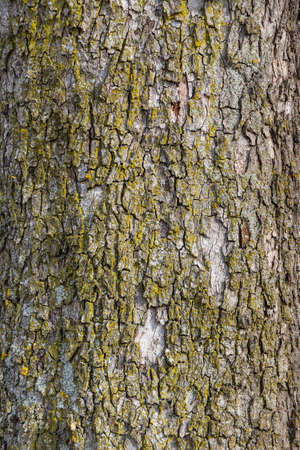 economic botany: bark on a tree in winter. age, structure, background