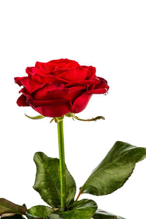 a red rose against white background. symbolic photo for beauty, love, valentines day photo