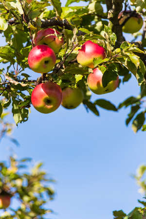 apple orchard: apples in the fall on an apple tree. fresh vitamins in the colorful season Stock Photo
