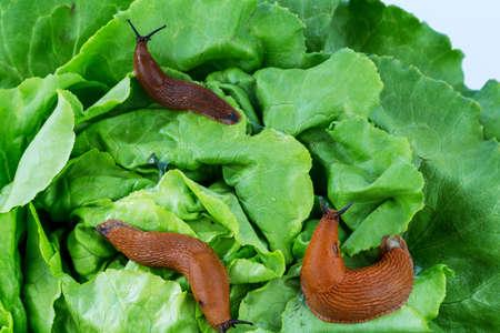 despacio: una babosa en el jardín de comer una hoja de lechuga. invasión de caracoles en el jardín Foto de archivo