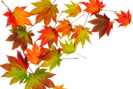 dissimilarity: the colorful messenger of autumn. leaves on white background Stock Photo