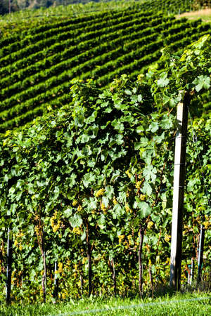 terracing: grapes in the vineyard of winemaker. vineyard in autumn. Stock Photo