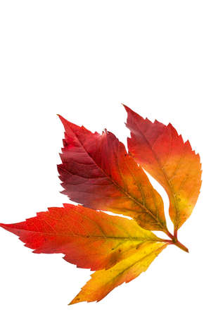 wintering: the colorful messenger of autumn. leaves on white background Stock Photo