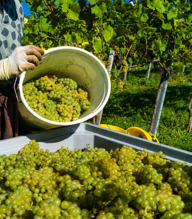 grape field: vintage in a vineyard winemaker. vineyard in autumn. ripe grapes are harvested.